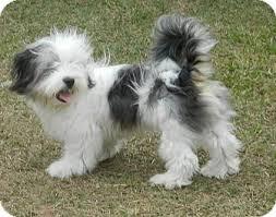 belgian sheepdog rescue florida ceasar adopted puppy umatilla fl shih tzu old english
