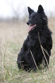 belgian shepherd ottawa croatian shepherd dogs were chiefly selected in the eastern region