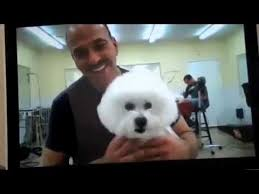 bichon frise therapy dog ch special times just right jr still gorgeous at 12 years old