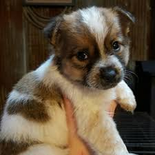australian shepherd idaho view ad australian cattle dog puppy for sale missouri barnett usa