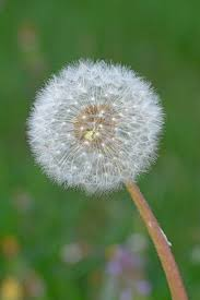 plant a day u2013 common dandelion naturally speaking