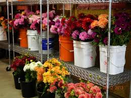 cut flowers dahlia barn
