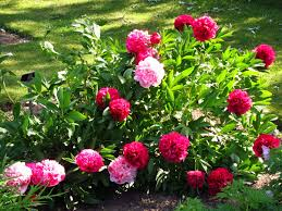 A Garden Of Flowers by In The Garden Of Beautiful Flowers Peonies Wallpapers And Images