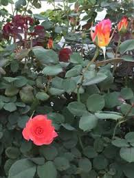 mardi gras roses mardi gras a by any other name our yard s roses