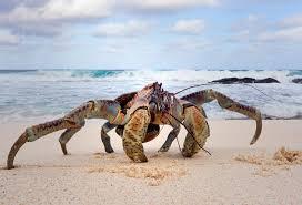 christmas island coconut crabs