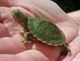 Texas Map Turtle Angie Kay Dilmore August 2010