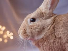 rabbit bunny injury from biting an electric cord in rabbits petmd