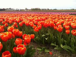 flower garden in amsterdam keukenhof gardens 2017 plan your visit holland explorer