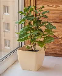 dalia in vaso dalia nana in un vaso da fiori sulla finestra fotografia stock