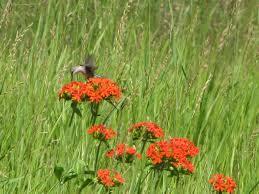 native canadian plants alberta hummingbirds u2013 prairie birder