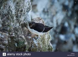 narrow picture ledge close up of single adult razorbill sitting on a nest on a narrow