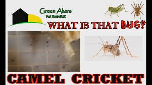 camel crickets are back what is a camel cricket find out now