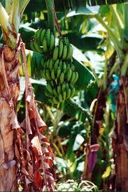 Vegetative Propagation By Roots - banana propagation