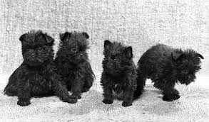affenpinscher white affenpinscher breed information