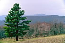 shortleaf pine trees for sale lowest prices save 80 buy