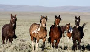 Programs Wild Horse And Burro Herd Management Herd Management