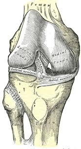 Right Knee Anatomy The Knee Joint Human Anatomy