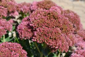 Fall Flowers Fall Flowering Perennials Add Needed Color To Your Landscape