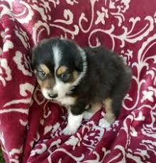 australian shepherd in california view ad australian shepherd puppy for sale california fresno usa