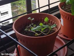 planting a herb garden in urban singapore apartment live collectiva