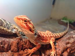 red het trans baby bearded dragon manchester greater manchester