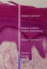 stratum lucidum wikipedia