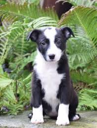 australian shepherd x border collie puppies for sale buckeye puppies