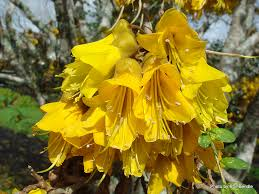 new zealand native plants and trees sophora microphylla kowhai island endemics pinterest google