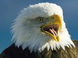 stellers sea eagle wallpapers american bald eagle pictures wallpaper wallpaper collections