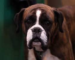 boxer dog crufts 2014 pedigree dogs exposed the blog behind the painted mask