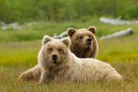 Animal Planet Documentary Grizzly Bears Full Documentaries - new featurette and photos for disneynature documentary bears