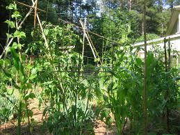 Trellis Poles Simple Trellis For Green Beans Organic Forum At Permies
