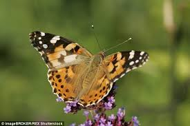 orange and black butterflies expected to arrive in uk from