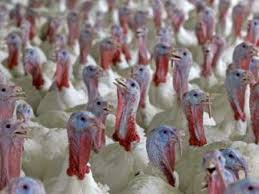 here s who s getting rich your thanksgiving turkey business