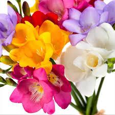 freesia flower buy freesia bulbs for sale easy to grow bulbs