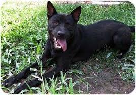 jack russell american pitbull terrier mix mieko the labrador retriever basenji american pit bull terrier