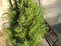 rosemary veggie gardening tips