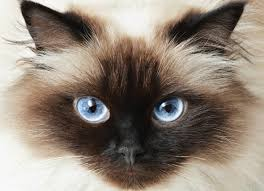 The Blind Spot In The Eye Is Due To Tumor Of The Eye In Cats Petmd
