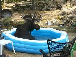 amazing moment a canadian moose chilling in an inflatable pool