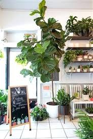 house plants that don t need light elegant house plants that don t need light or fiddle leaf fig 54