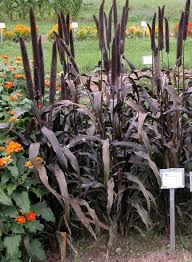 pennisetum horticulture 131