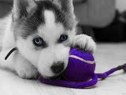 pomsky dogs pomeranian husky mix dog