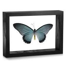 Papilio Rugs Framed Papilio Zalmoxis Butterfly Evolution Store