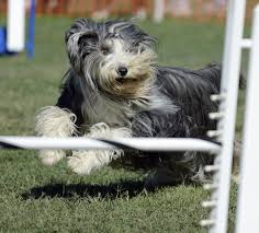bearded collie mini get to know the bearded collie the bouncing and bubbly scot