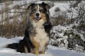 royal 8 australian shepherds separation anxiety in dogs 6 breeds that being alone
