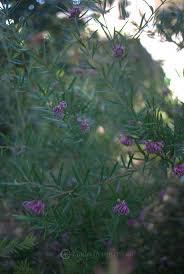 native plants brisbane 1051 best australianflora images on pinterest australian flowers