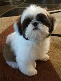 shi poo shih tzu puppy teething