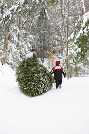 minnesota grown christmas trees find local christmas trees