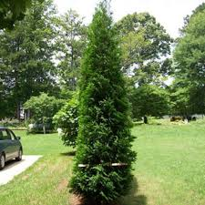 types of evergreen trees screens tree and gardens