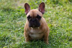 file puppy french bulldog jpg wikimedia commons